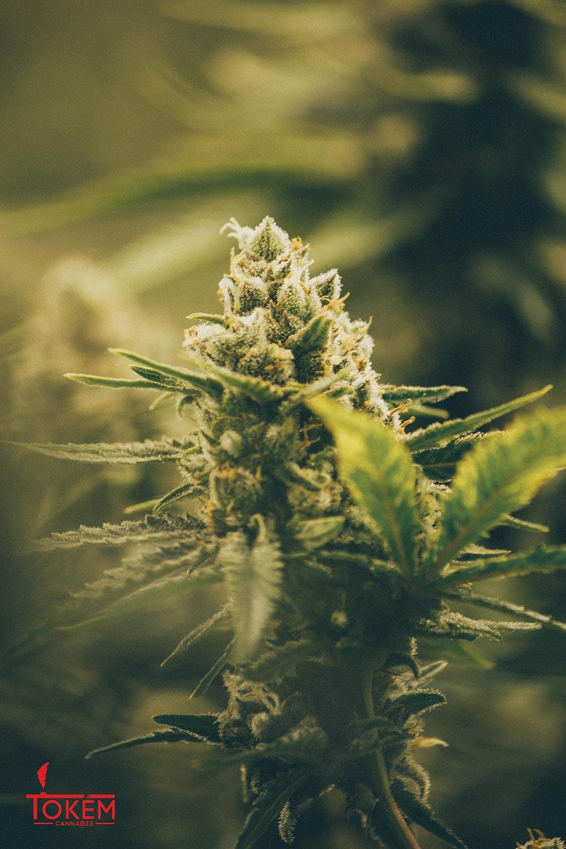 Tokem Cannabis Cannabis